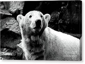 Cute Knut Canvas Print by John Rizzuto