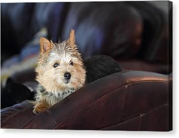 Cutest Dog Ever - Animal - 011330 Canvas Print by DC Photographer