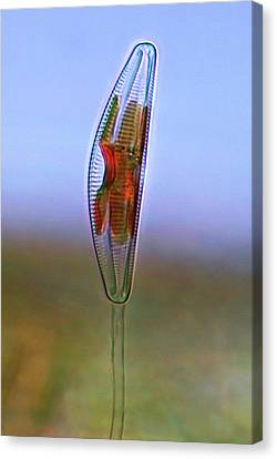 Cymbella Diatom Canvas Print by Marek Mis