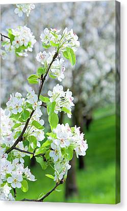 Czech Republic, Prague - Cherry Trees Canvas Print by Panoramic Images
