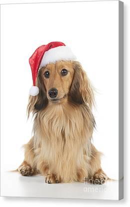 Dachshund In Christmas Hat Canvas Print by John Daniels