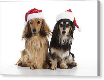 Dachshunds In Christmas Hats Canvas Print by John Daniels