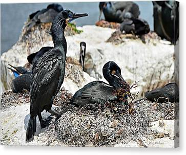 Dad And Mom Building The Best Nest Canvas Print by Susan Wiedmann