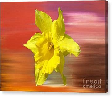 Daffodil 2 Canvas Print by Patrick J Murphy