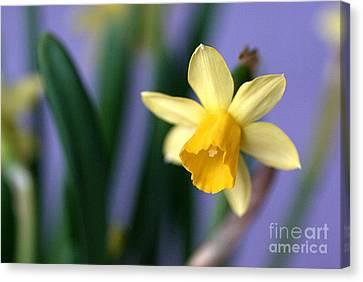 Daffodil Canvas Print by AmaS Art