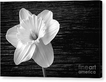 Daffodil Narcissus Flower Black And White Canvas Print by Edward Fielding