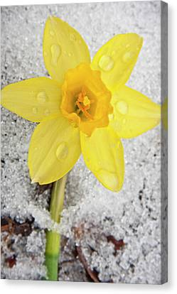 Daffodil In Spring Snow Canvas Print by Adam Romanowicz