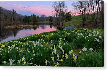 Daffodil Sunset Canvas Print by Bill Wakeley