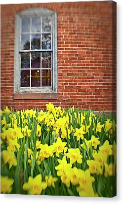 Daffodils In Portsmouth, New Hampshire Canvas Print by Jerry and Marcy Monkman
