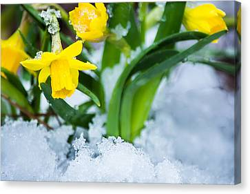 Daffodils In The Snow  Canvas Print by Parker Cunningham