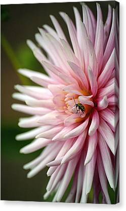 Dahlia Bug Canvas Print by Chris Anderson