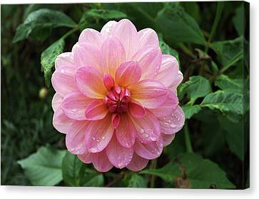 Dahlia 'dusky Harmony' Canvas Print by Neil Joy