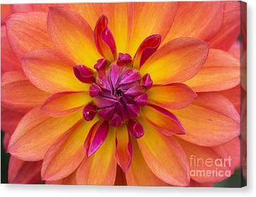 Dahlia Fire Pot Flower Canvas Print by Tim Gainey