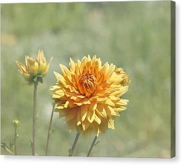 Dahlia Flowers Canvas Print by Kim Hojnacki