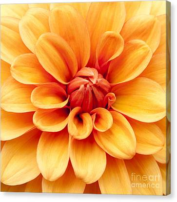 Dahlia Squared Canvas Print by Anne Gilbert