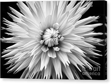 Dahlia White Lace Canvas Print by Tim Gainey