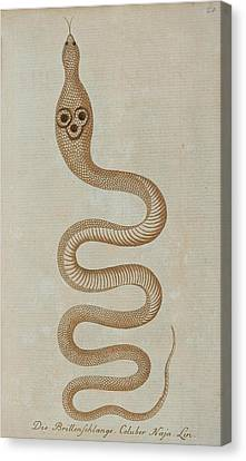 Dahl's Whip Snake Canvas Print by Celestial Images