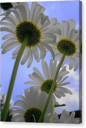 Daisies From Down Under Canvas Print by Marisa Horn