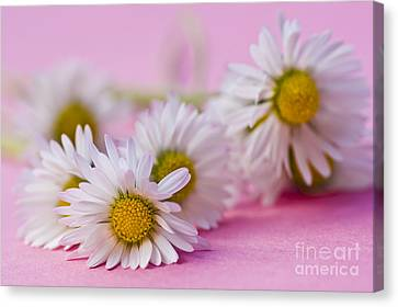 Daisies On Pink Canvas Print by Jan Bickerton