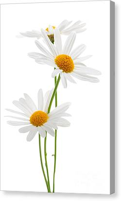 Daisies On White Background Canvas Print by Elena Elisseeva