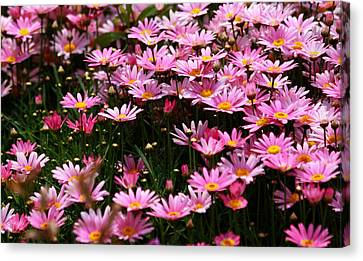 Daisy Crazy Canvas Print by Qing