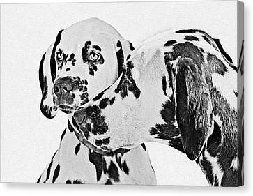 Dalmatians - A Great Breed For The Right Family Canvas Print by Christine Till