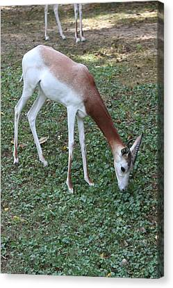 Dama Gazelle - National Zoo - 01131 Canvas Print by DC Photographer