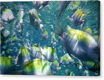 Damselfish Canvas Print by Christopher Swann