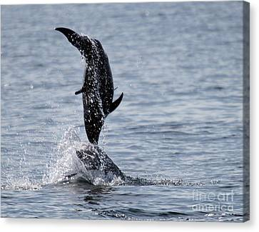 Dancing Dolphins Canvas Print by Bob Hislop