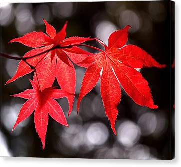 Dancing Japanese Maple Canvas Print by Rona Black