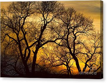 Dancing Trees Golden Sunset Canvas Print by James BO  Insogna