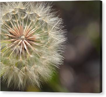 Dandelion Art - So It Begins - By Sharon Cummings Canvas Print by Sharon Cummings