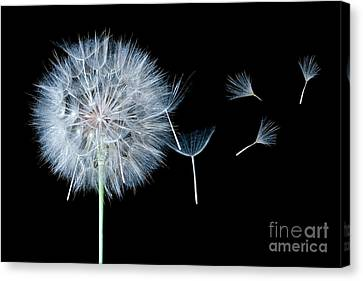Dandelion Dreaming Canvas Print by Cindy Singleton