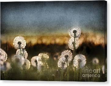 Dandelion Dusk Canvas Print by Cindy Singleton
