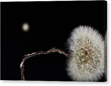 Dandelion Parachute Ball Canvas Print by Bob Orsillo
