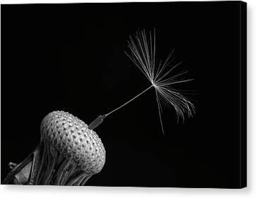 Dandelion Seed  Waterloo, Quebec, Canada Canvas Print by David Chapman