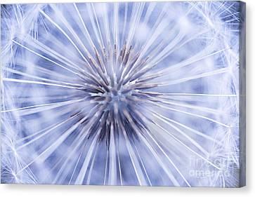 Dandelion Seeds Canvas Print by Elena Elisseeva