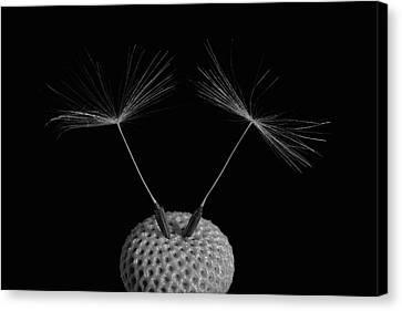 Dandelion Seeds  Waterloo, Quebec Canvas Print by David Chapman
