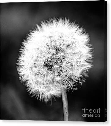 Dandelion Square Portrait In Black And White Canvas Print by Emily Kay