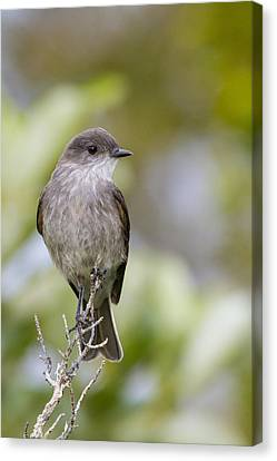 Dark Faced Ground Tyrant On A Perch Canvas Print by Tim Grams