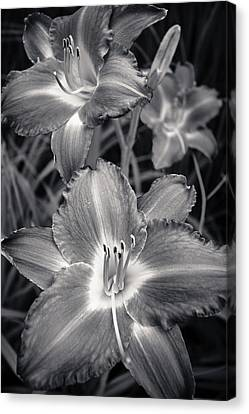 Day Lilies In Black And White Canvas Print by Adam Romanowicz