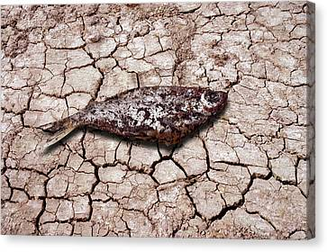 Dead Fish On Cracked Earth Canvas Print by Victor De Schwanberg