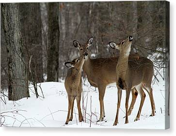 Deer Affection Canvas Print by Karol Livote