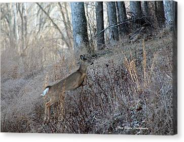 Deer Moving Upward Canvas Print by Lorna Rogers Photography