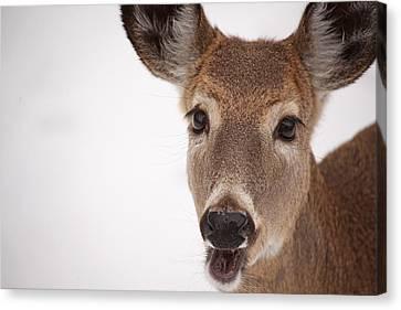 Deer Talk Canvas Print by Karol Livote
