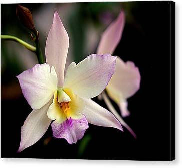 Delicate Beauty Canvas Print by Rona Black