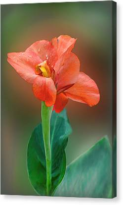 Delicate Red-orange Canna Blossom Canvas Print by Linda Phelps