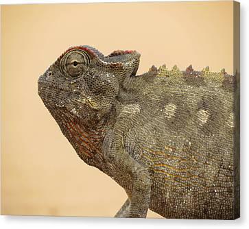 Desert Chameleon Canvas Print by Ramona Johnston