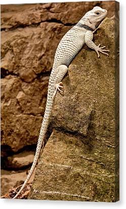 Desert Spiny Lizard, Sceloporus Canvas Print by David Northcott