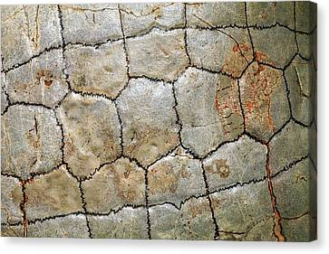 Detail Of Fossil Tortoise Shell Canvas Print by Dirk Wiersma